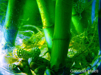 Bambu in acqua for Bambu in vaso acqua
